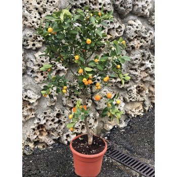 Citrus fortunella (Calamondín)
